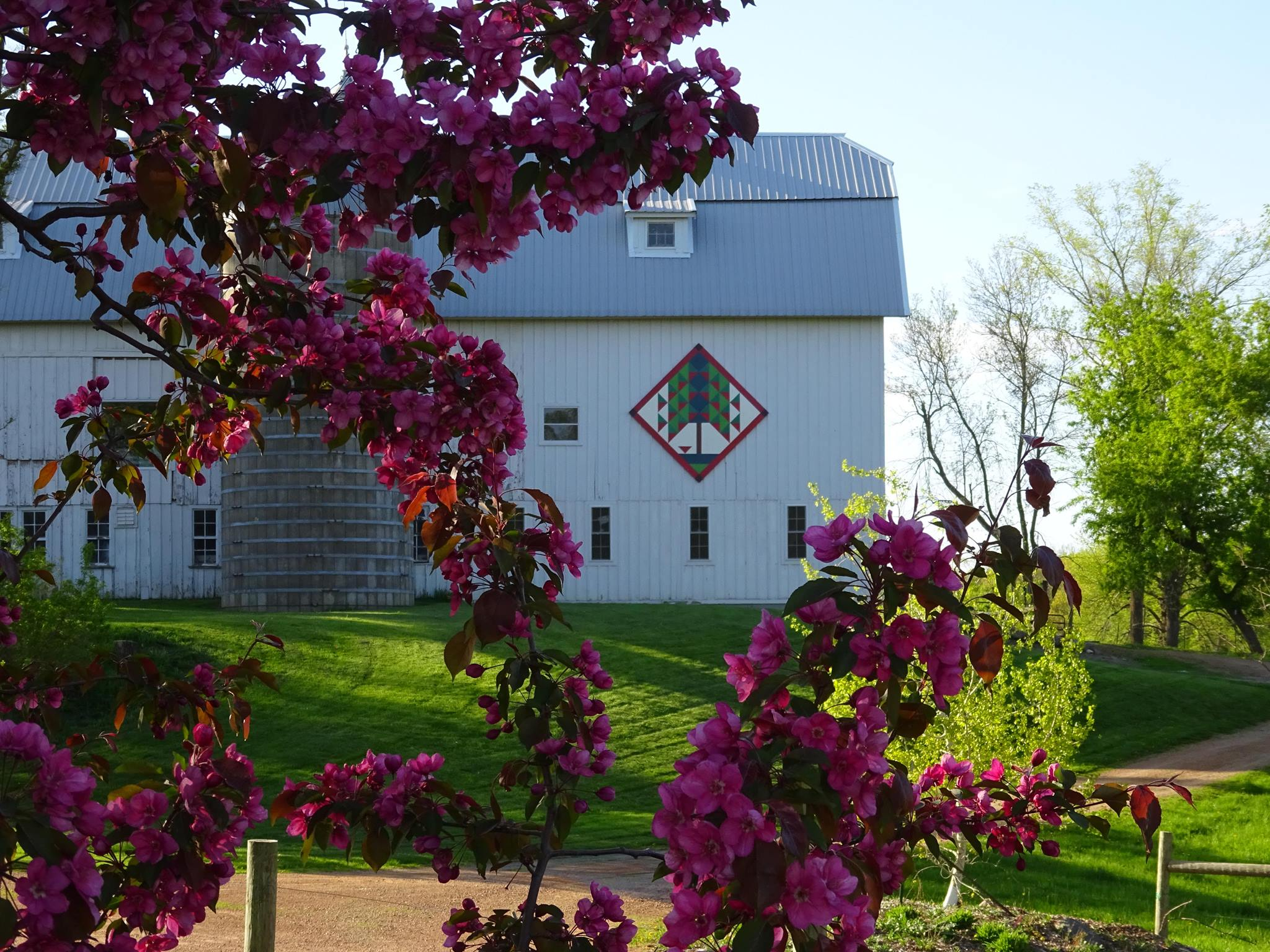 Purple tree in front of barn