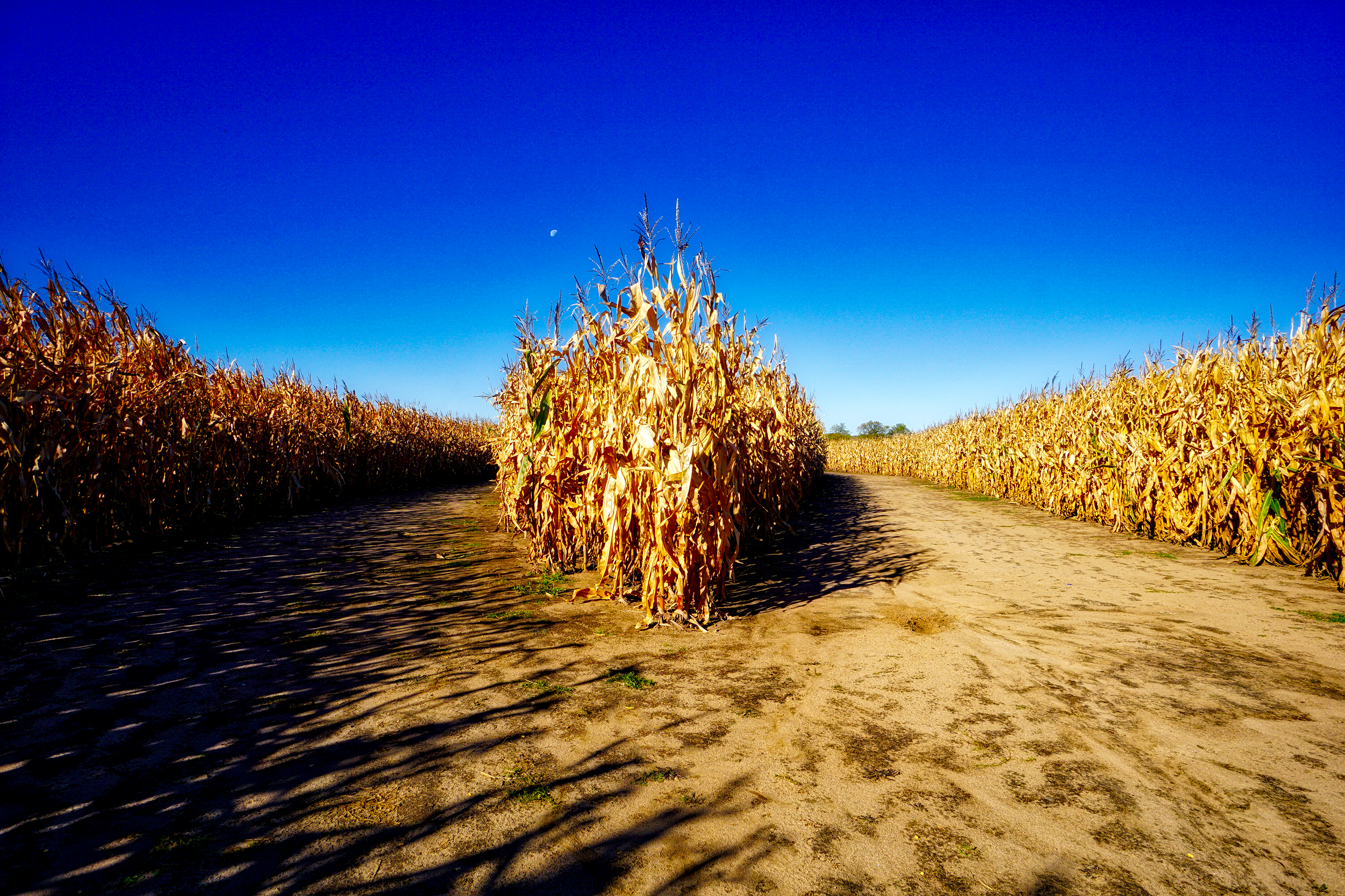 Walking through corn maze