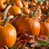 Pumpkin patch and Halloween fun in Minnesota