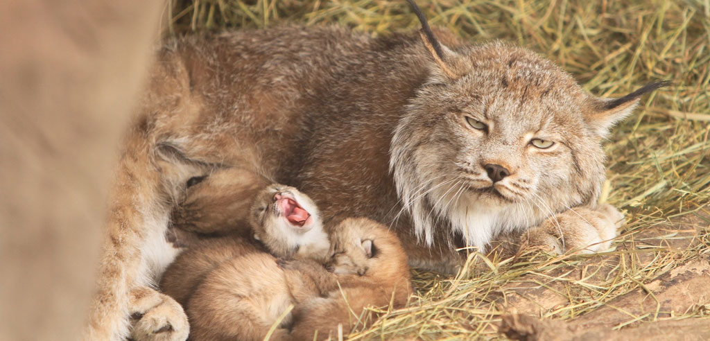 MN Zoo Canada Lynx New Kittens | Minneapolis Northwest