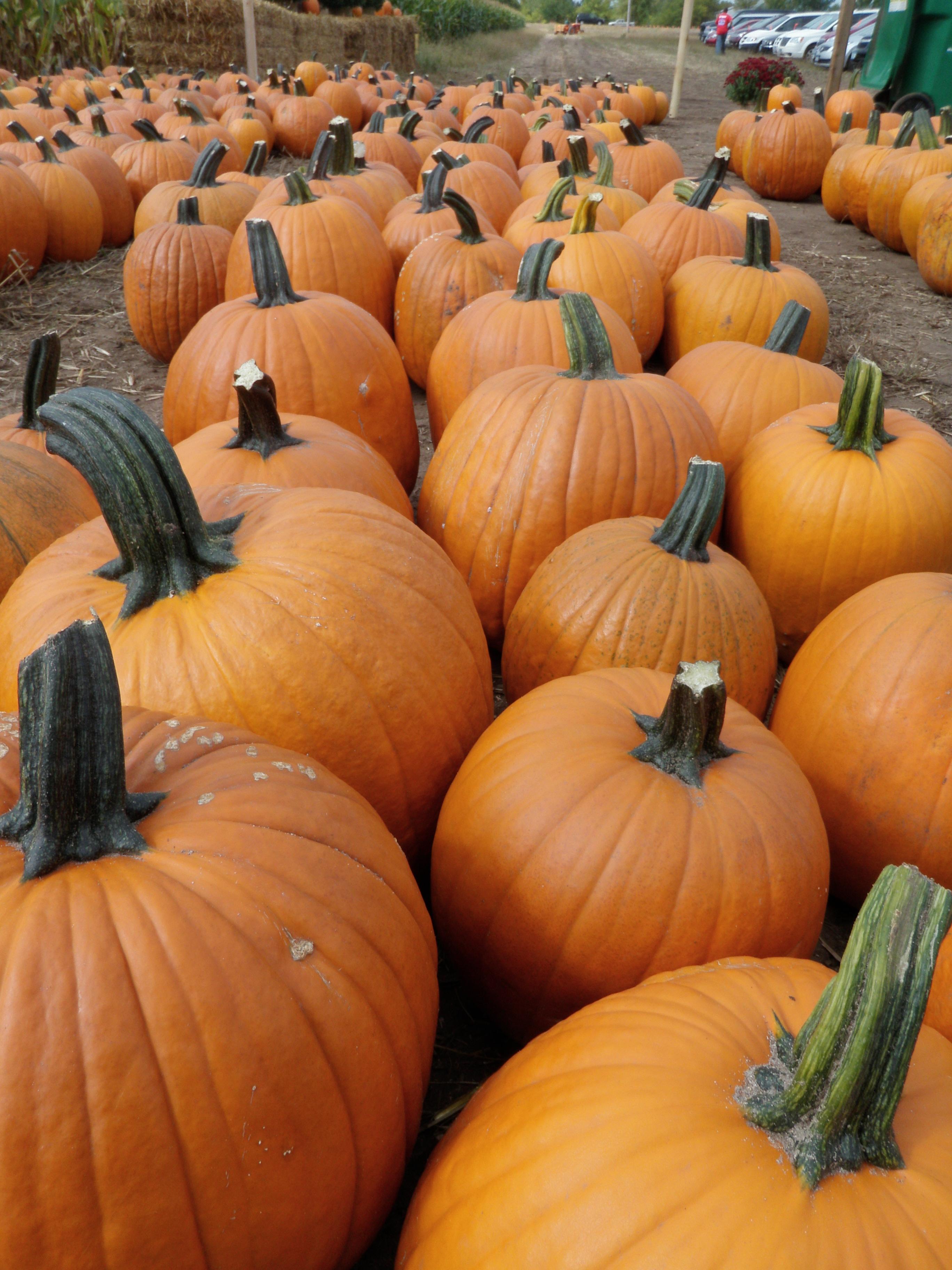 Twin Cities Harvest Festival & Maze Pumpkins Minneapolis Northwest